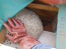 Nid de guêpes sous toiture