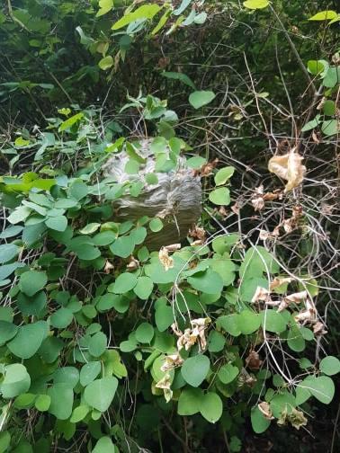 Nid de guêpes dans un arbuste